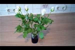Rosen Selber Ziehen : video blaue rosen selber herstellen ~ Lizthompson.info Haus und Dekorationen
