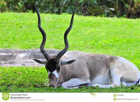 addax antelope zoo antilope dierentuin zoologico giardino gazelle zoos