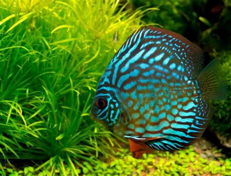 discus fish types care size lifespan tankmatesbreeding
