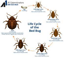 Australian Carpet Beetle by Bed Bug Facts A1 Exterminators