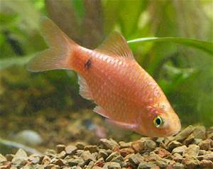 Image Gallery rosy barb