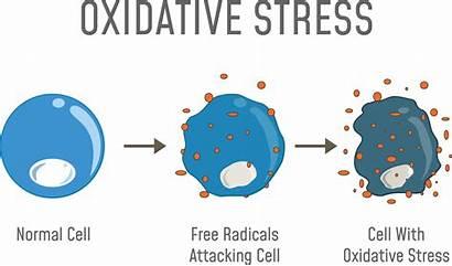 Stress Oxidative Radicals Diagram Cell Skin Illustration