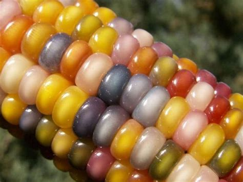 colored corn colored corn barnorama