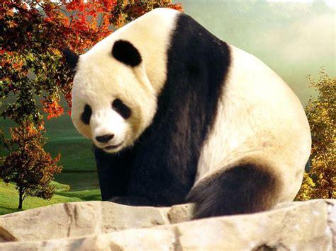Panda Desktop Wallpapers Computer Wallpaper Free Downloads