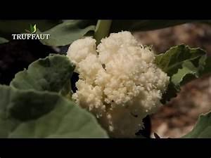Planter Des Choux Fleurs : comment planter des choux fleurs jardinerie truffaut tv youtube ~ Melissatoandfro.com Idées de Décoration
