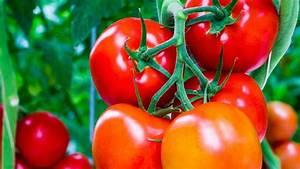 Quand Semer Les Tomates : c 39 est le moment de pincer les tomates poivrons comment ~ Melissatoandfro.com Idées de Décoration