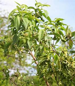 Types Of Peach Tree Diseases – How To Treat Peach Tree ...