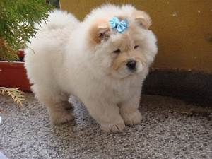 White Cute Chow Chow Puppy Wearing Blue Bow