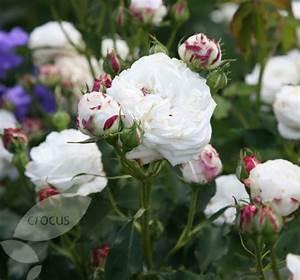 Boule De Rose : boule de neige bourbon rose roses pinterest ~ Teatrodelosmanantiales.com Idées de Décoration