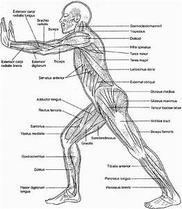 Muscular System Coloring Sheets