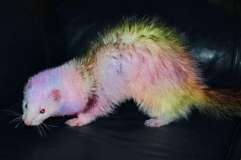 Pastel Rainbow Blaze Angora Ferret