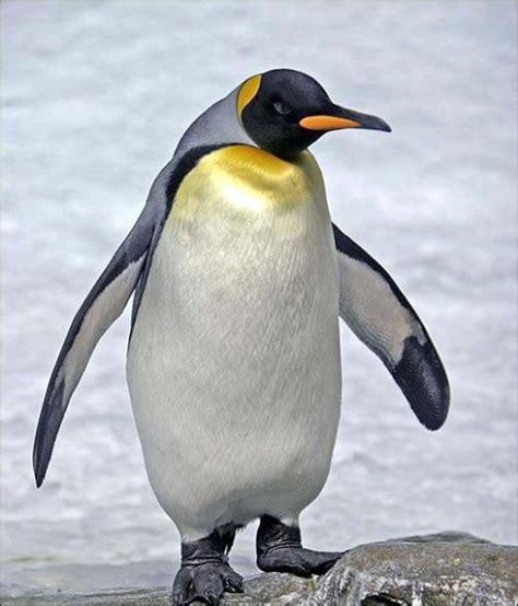 pingouin animal crossing wiki fandom powered  wikia