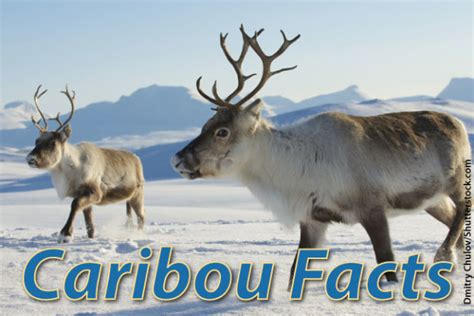 caribou facts  pictures video information