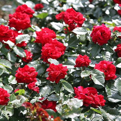 buy ruby anniversary patio rosa ruby anniversary