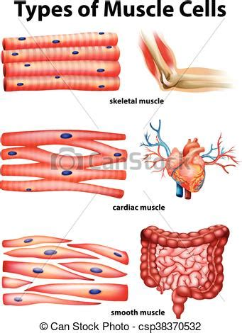 diagram showing types  muscle cells illustration