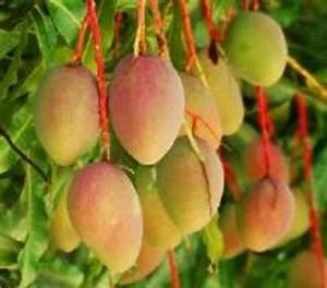 National Fruit of India | National Symbols of India ...