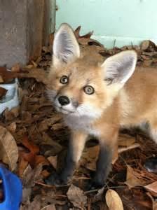 Baby Fox Pets