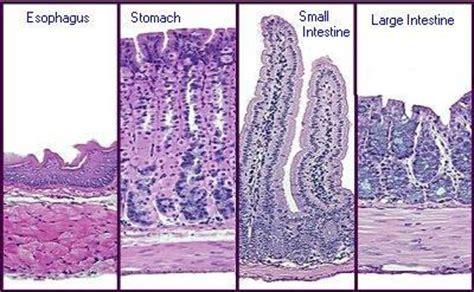 print ap ch digestive system flashcards easy notecards