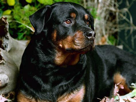 German Shepherd Vs Rottweiler One Breed Wins