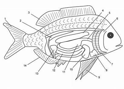 Fish Anatomy Biology Pond Marine Worksheets Science