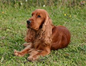Cocker Spaniel Dog Breed Information, Buying Advice, Photos and Facts | Pets4Homes