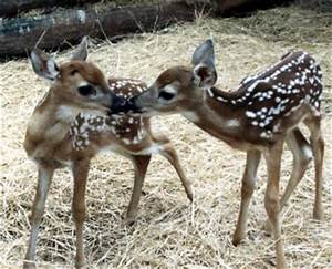 qpanimals / White Tailed Deer