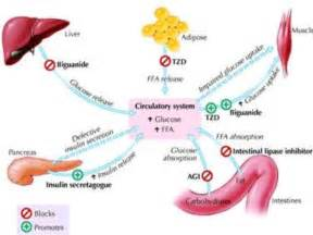 Glyburide Mechanism Of Action Class oral hypoglycemics  Glyburide Diabetes