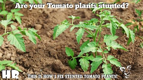 recover stunted tomato plants garden tips