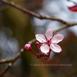Cherry Blossom Single by Hitomii on DeviantArt