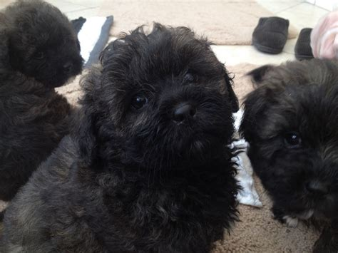 lhasa apso cross poodle puppies for sale cannock