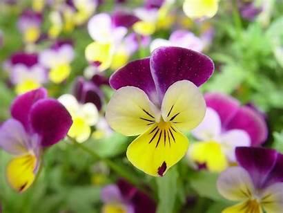 Flowers Yellow Purple Pansies Desktop Flower Wallpapers