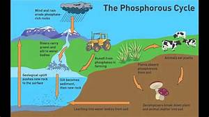 Biogeochemical Cycles  The Phosphorus Cycle