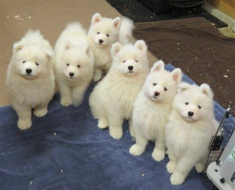 Samoyed Puppy Gang Samoyed Smiles Pinterest Samoyed