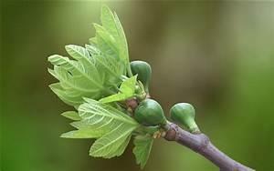 Feigenbaum Im Garten : feigenbaum im garten hintergrundbilder hd bild ~ Orissabook.com Haus und Dekorationen