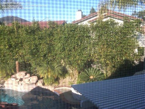 plants for pool area beginner gardening screening plants for pool area in so calif 1 by thchau