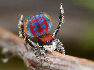 Australian peacock spider - These jumping spiders from the ...