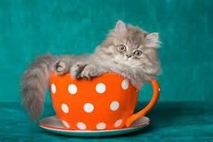 tea cup cats kitten in teacup cats