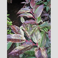 Leucothoe Growing Conditions  Tips On The Care Of