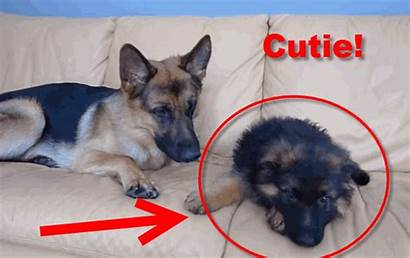 German Huge Shepherd Dog Puppy Plays Cuteness