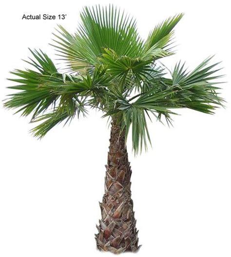 mexican fan palm care mexican fan palm washingtonia robusta