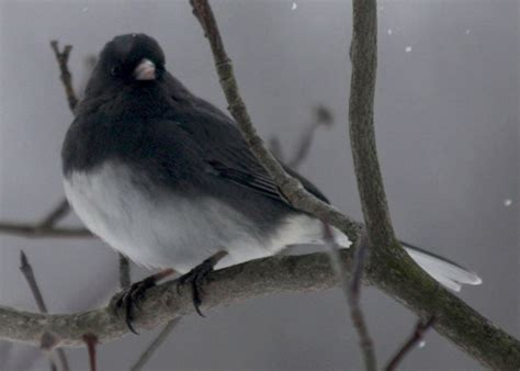 black and gray with white belly bird pictures to pin on