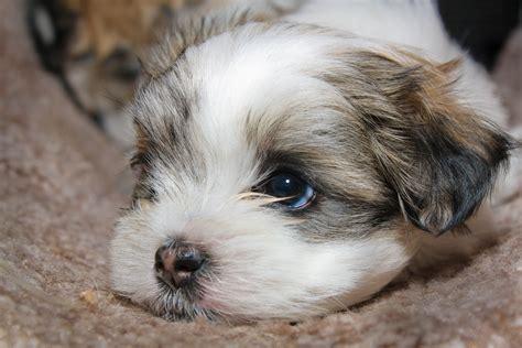 Maltese Shihtzu Puppy Ins Cat Tunnel Wendys Maltese Flickr