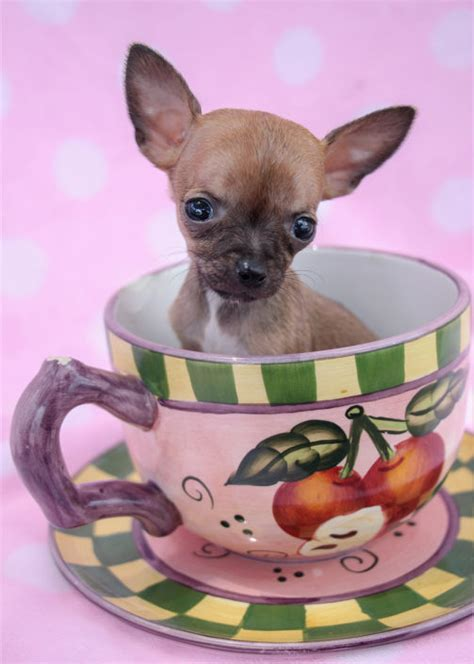 teacup chihuahuas  chihuahua puppies  sale