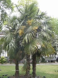 Trachycarpus Fortunei Auspflanzen : trachycarpus fortunei teeninga palmen ~ Eleganceandgraceweddings.com Haus und Dekorationen