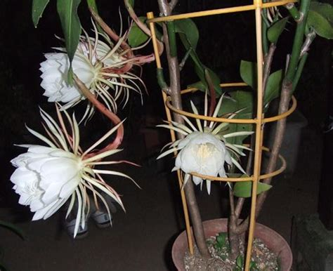 plants that bloom once a year night queen this cactus blooms once a year in the night flower photography pinterest