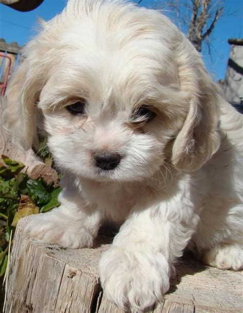 Do Cavachons Shed by Cavachon Puppy Puppies Dogs Cavachon