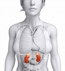 Kidney Function  What Do The Kidneys Do