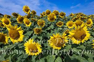 Images of Sunflowers, sunflower seeds, Helianthus annuus ...