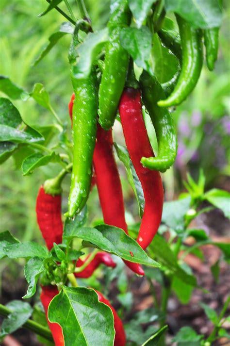 garden salsa peppers grow fresh veggies frutas