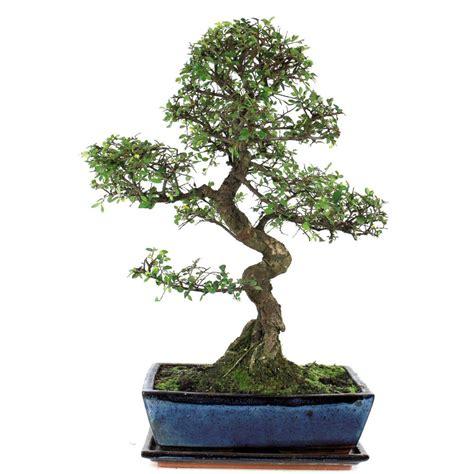 chinesische ulme bonsai bonsai f 252 r innen chinesische ulmen jetzt kaufen